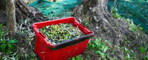olive-taggiasche-blog-bottega-ligure-cogoleto