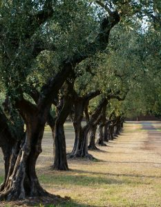 terre-degli-ulivi-blog-bottega-ligure-cogoleto