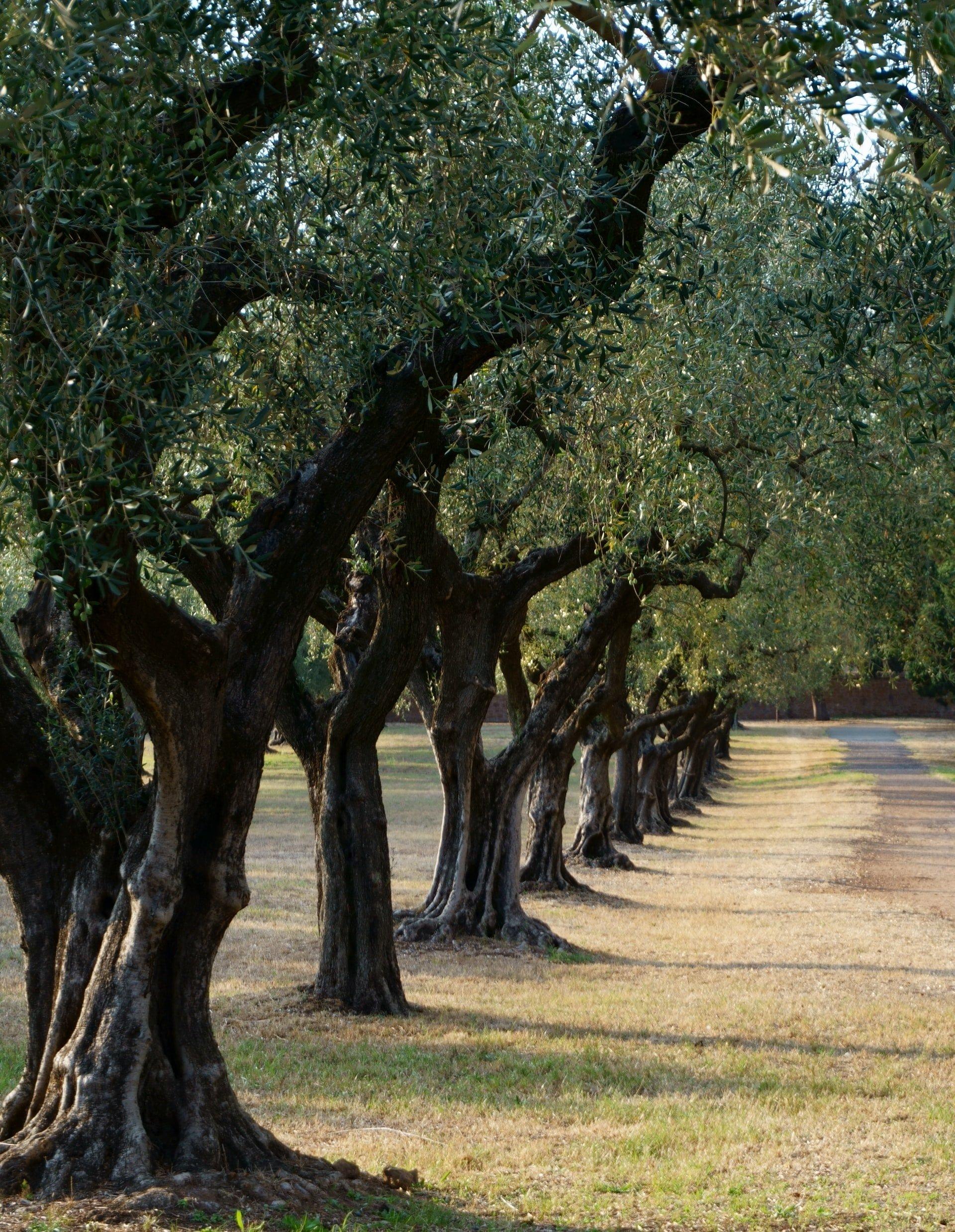 La Liguria, la sua terra, i suoi ulivi